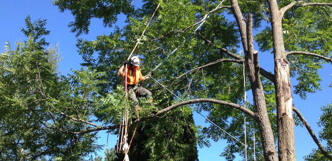 Snoeien van bomen - Groenbedrijf Limburg